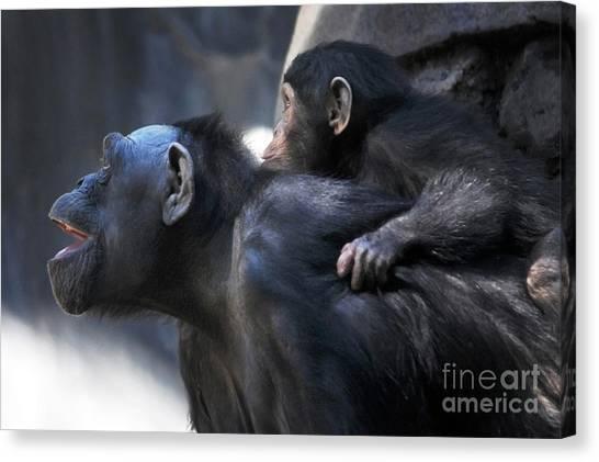 Chimpanzees Canvas Print - Family by Dan Holm
