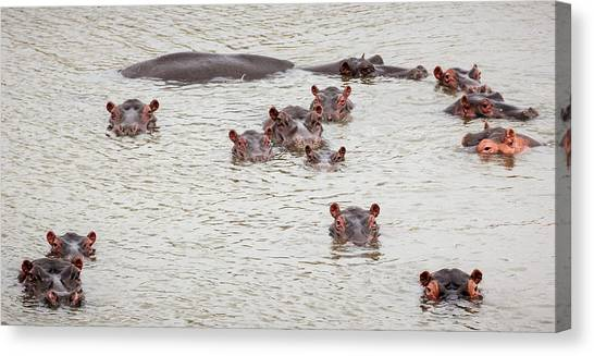 Family Of Staring Hippos Canvas Print