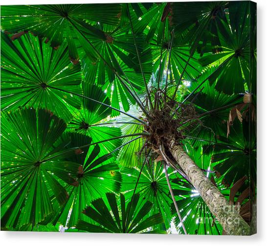 Fan Palm Tree Of The Rainforest Canvas Print