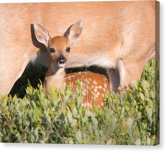 Fawn And Mom Canvas Print
