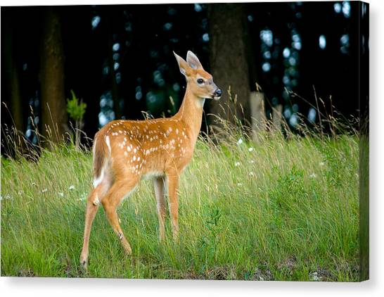 Deer Canvas Print - Fawn by Shane Holsclaw