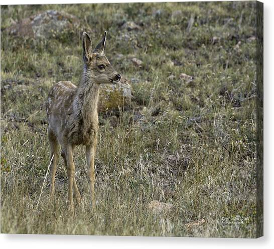 Fawn Canvas Print by Tom Wilbert