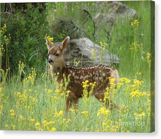 Fawn In Evergreen Colorado Canvas Print