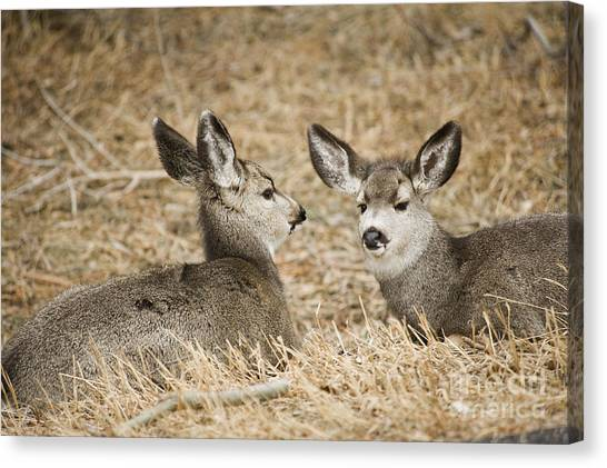 Fawns At Rest Canvas Print by Bob Dowling
