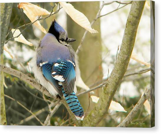 Feather Focused Blue Jay Canvas Print by Bonita S Sylor
