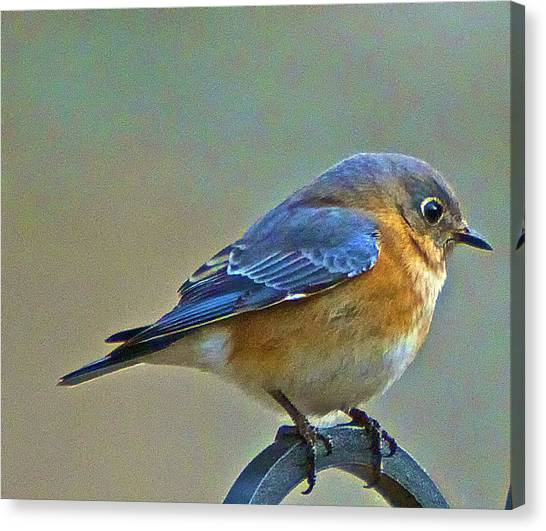 Febuary Bluebird  Canvas Print by Constantine Gregory