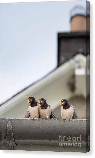 Swallows Canvas Print - Feed Me  by Tim Gainey