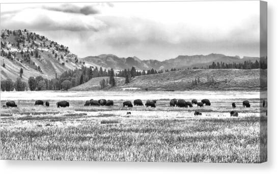 Feeding Bison And Scenic View  Canvas Print