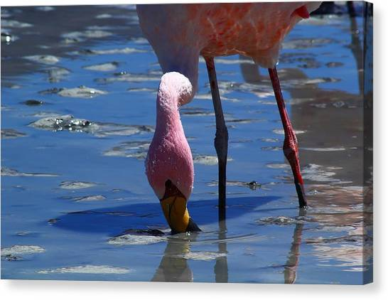 Bolivian Canvas Print - Feeding Flamingo by FireFlux Studios