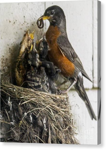 Feeding The Chicks Canvas Print