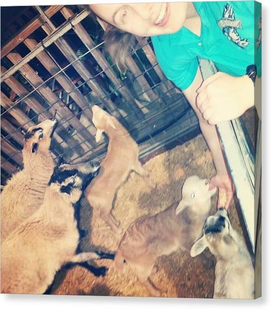 Goats Canvas Print - Feeding The Kids. #goats #kids by Beth B
