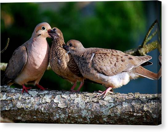 Feeding Twin Mourning Doves Canvas Print