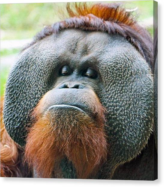 Orangutans Canvas Print - Feeling A Bit Pouty This Am. #orangutan by Craig Price