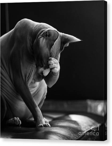 Sphynx Cats Canvas Print - Feeling Your Pain by Zina Zinchik