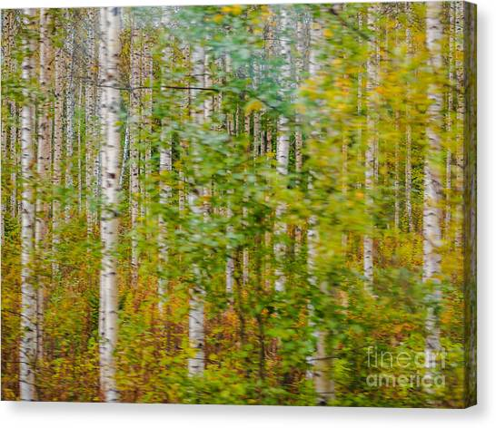Feels Like Autumn In A Forest Of Birch Trees Canvas Print