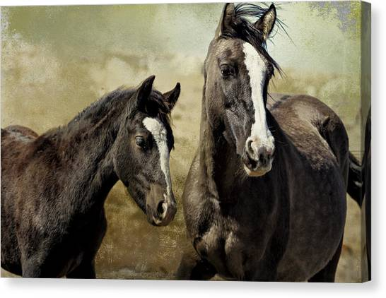 Feldspar And Ohanzee  - Pryor Mustangs Canvas Print