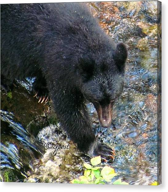 Bear Claws Canvas Print - Female Black Bear Fishing For Salmon by Cynthia Post