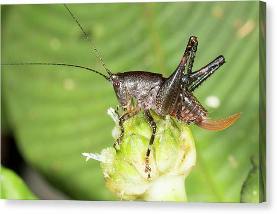 Crickets Canvas Print - Female Bush Cricket by Dr Morley Read