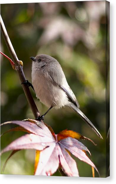 Female Bushtit Canvas Print