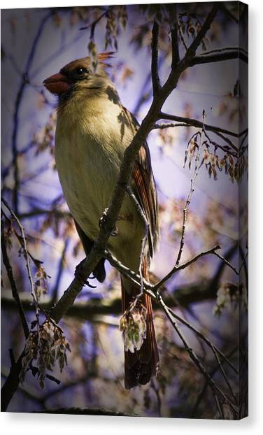 Female Cardinal Canvas Print by Barry Jones