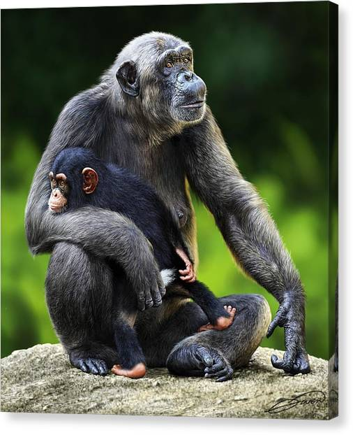 Female Chimpanzee With Young Canvas Print by Owen Bell