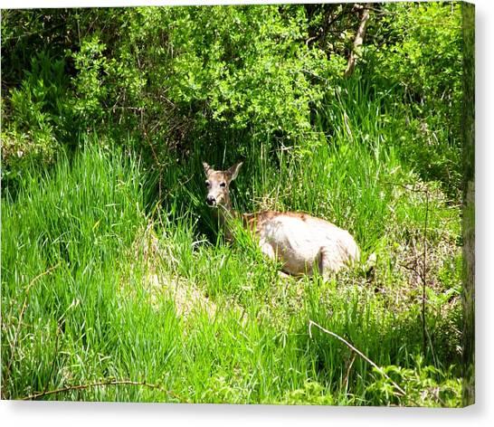 University Of Iowa Canvas Print - Female Deer Resting by Cynthia Woods