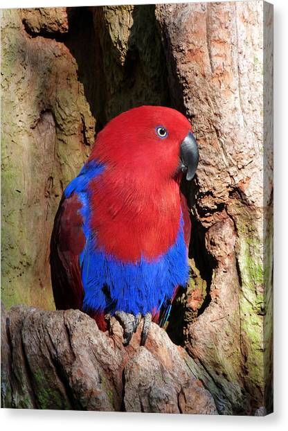 Female Eclectus Parrot Resting Canvas Print