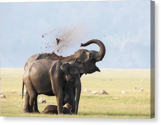 Female Elephants With Calf Canvas Print by Sabirmallick