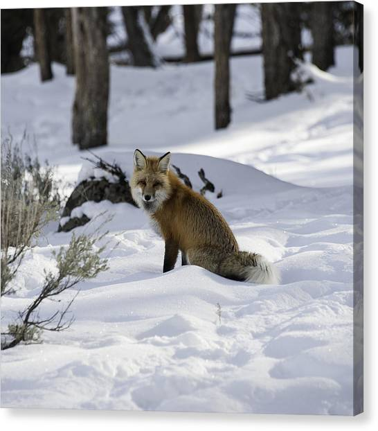 Female Fox Canvas Print