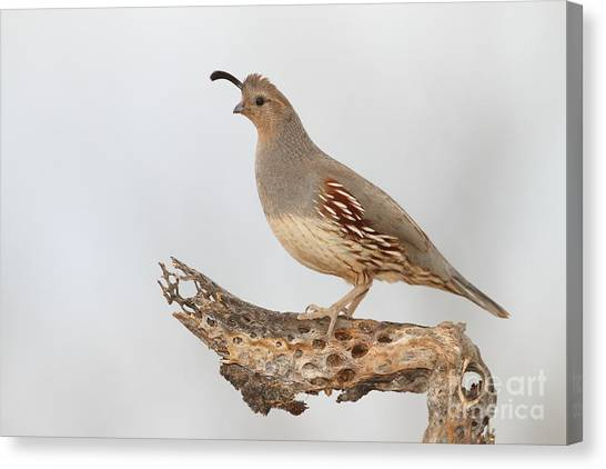 Female Gambel's Quail Canvas Print