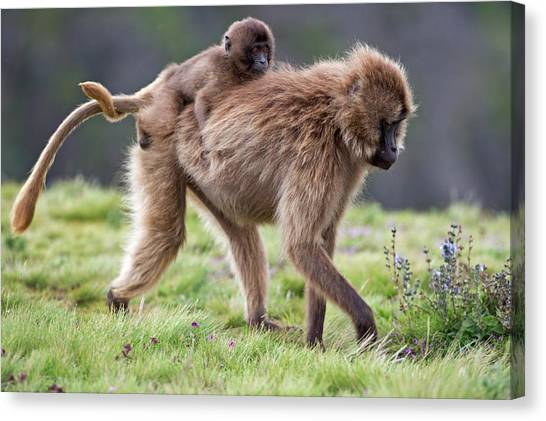 Behaviour Canvas Print - Female Gelada Baboon Carrying Her Infant by Tony Camacho