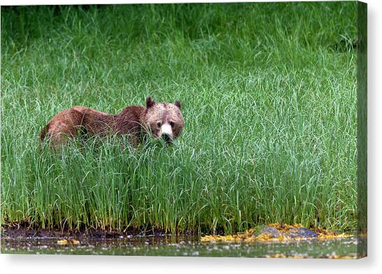Female Grizzly, Knight Inlet Canvas Print by Doug Mckinlay