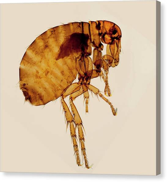 Fleas Canvas Print - Female Human Flea by Steve Lowry/science Photo Library