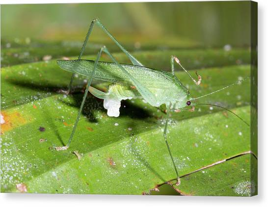 Crickets Canvas Print - Female Katydid With Spermatophore by Dr Morley Read