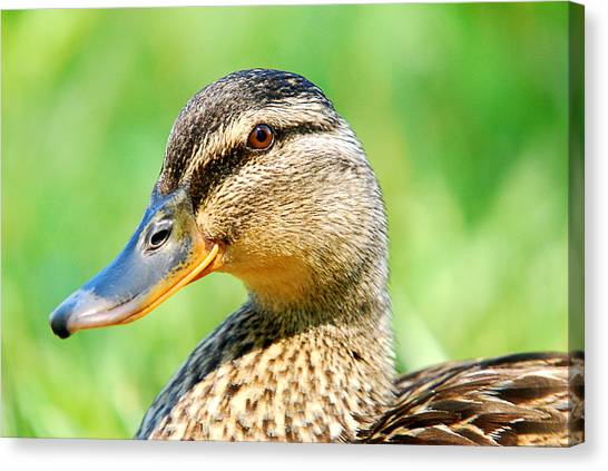 Female Mallard Duck Canvas Print