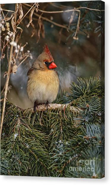 Female Norther Cardinal Canvas Print