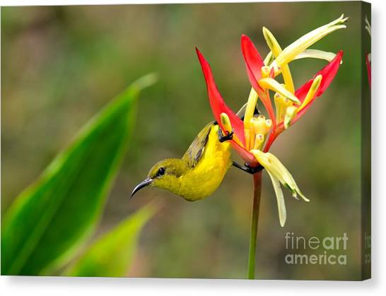 Female Olive Backed Sunbird Clings To Heliconia Plant Flower Singapore Canvas Print