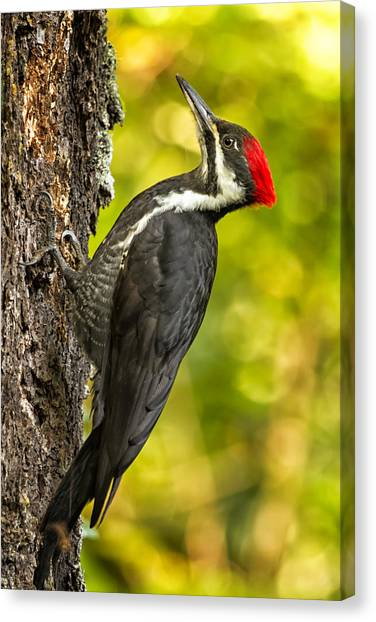Canvas Print featuring the photograph Female Pileated Woodpecker No. 2 by Belinda Greb