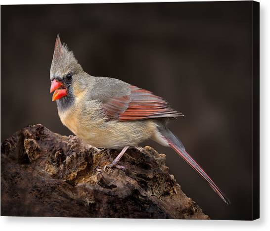 Female Red Cardinal Canvas Print