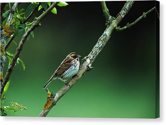 Buntings Canvas Print - Female Reed Bunting by Leslie J Borg/science Photo Library