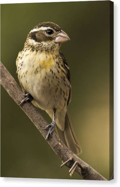Female Rose-breasted Canvas Print