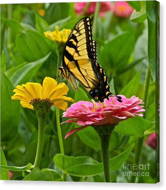 Female Tiger Swallowtail Butterfly With Pink And Yellow Zinnias Canvas Print