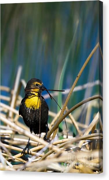 Blackbird Builds A Nest Canvas Print
