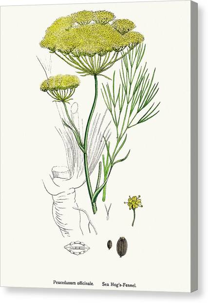 Fennel Plant Scientific Illustration Canvas Print by Mashuk