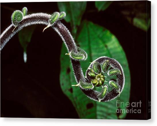 Costa Rican Canvas Print - Fern Fiddlehead, Costa Rica by Gregory G. Dimijian, M.D.