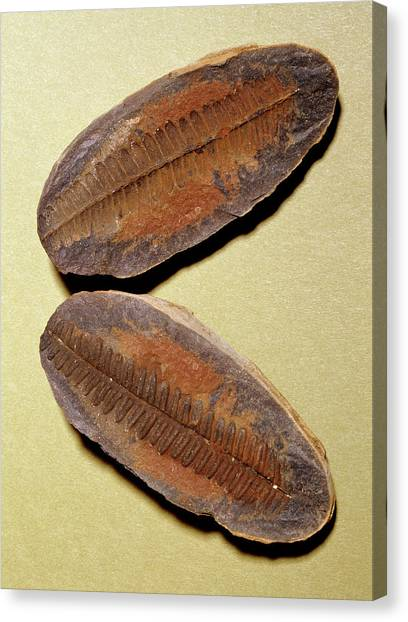 Fern Fossil (pecopteris Sp.) Canvas Print by M P Land/science Photo Library