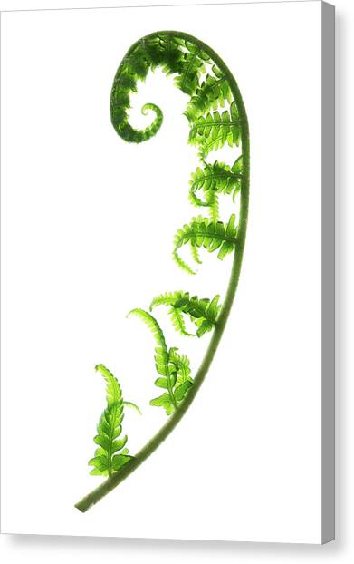 Fern Frond Canvas Print by Gustoimages/science Photo Library