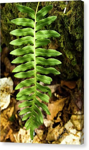 Fern Leaf Alone Canvas Print