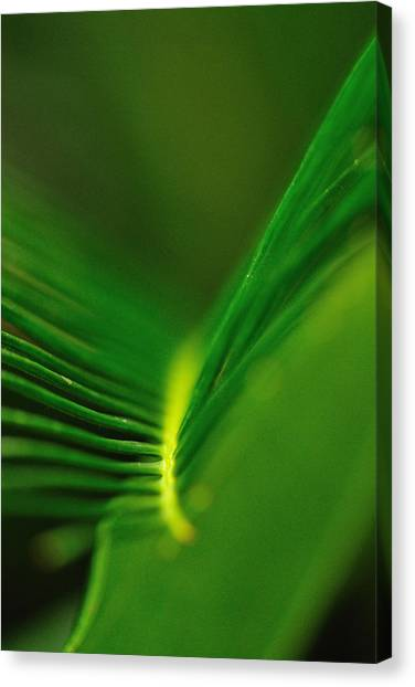 Fern Lines Canvas Print