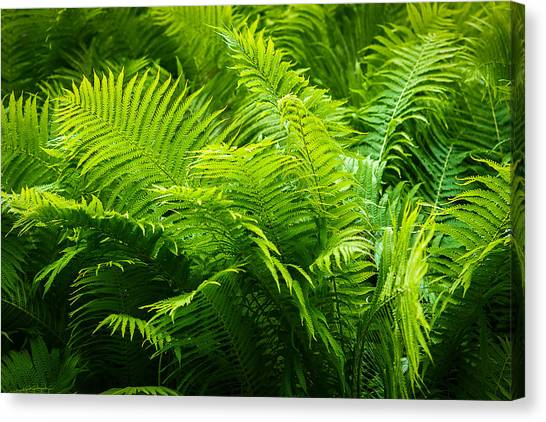 Ferns 1 Canvas Print